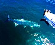 Tarpon and Cobia fishing charters